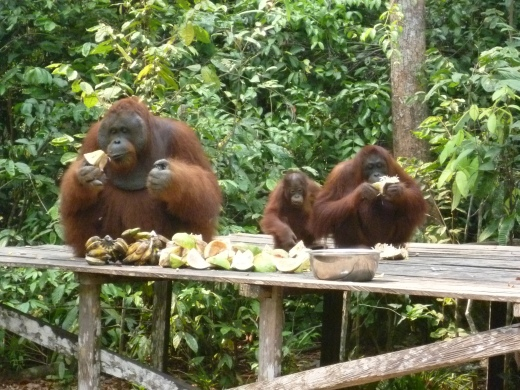 The orang-utan of Kalimantan
